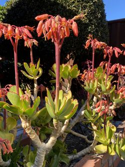 Succulent Plants for Sale in Sunnyvale,  CA
