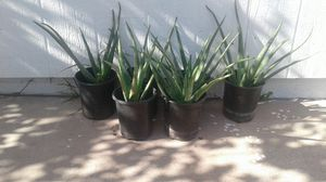 Aloe Vera sabilas plantas 5 cada una 30 por todas for Sale in Phoenix, AZ