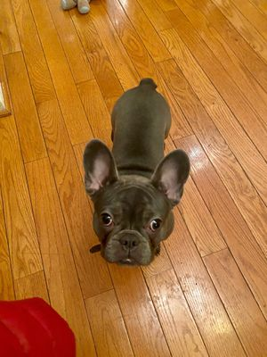 French Bull Dog. $2500.00 W/papers for Sale in Randallstown, MD