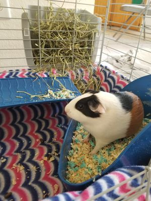 Guinea pig cage and accessories for Sale in Tracy, CA