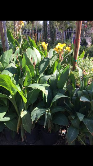 Cannas lily plant for Sale in Highland, CA