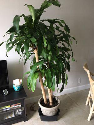 Plant for Sale in Deerfield Beach, FL