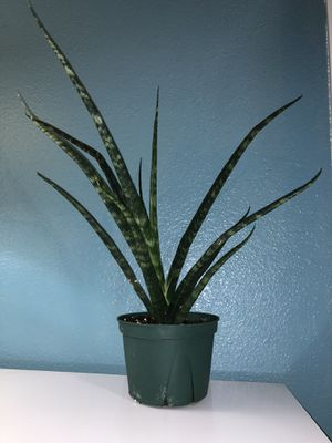 sansevieria fernwood/snake plant for Sale in Tulare, CA