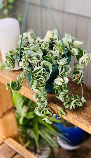 Live indoor VARIEGATED Hoya Hindu Rope plant in a plastic nursery planter pot—firm price for Sale in Seattle, WA