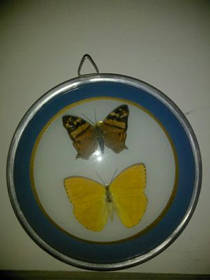 Gorgeous Vintage Real Butterflies Collection Display for Sale in Chicago, IL