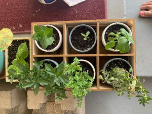 Plant box with mini pots with 6 different cooking herbs for Sale in Colorado Springs, CO