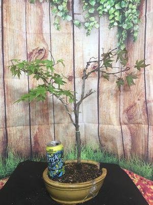 Pre-Bonsai: San Kaku Japanese Maple for Sale in Malden, MA