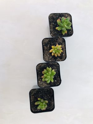 Set of 4 jelly bean succulents for Sale in Los Angeles, CA