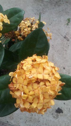 Maui yellow ixora plant for Sale in San Antonio, TX
