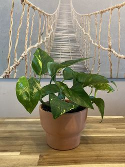 Healthy Pothos House Plant in Nice Terra-cotta Planter for Sale in Denver,  CO