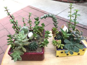 Pair of succulents cactus flowers plants jade aloe Vera in ceramic pots trending hot garden yard lifestyle mix variety for Sale in Rosemead, CA