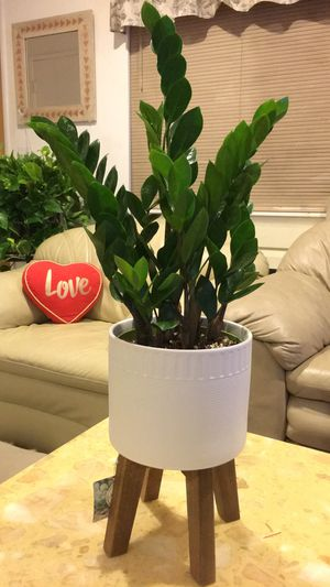 """Very Beautiful🌱Young🌱Healthy ZZ Plants. About 20"""" tall total. $15 each. Plant only. PLANTER NOT INCLUDED for Sale in Garden Grove, CA"""