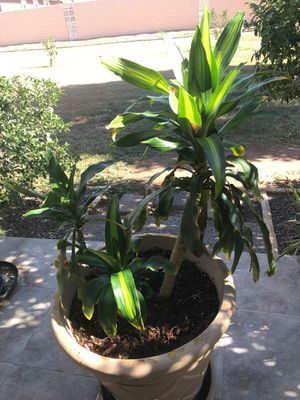"""Large 36"""" Corn Plant (Pot not included) for Sale in Sun City, AZ"""