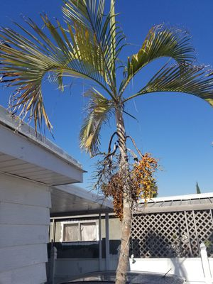 Palm for Sale in Long Beach, CA