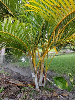 Small Palm Tree for Sale in Boca Raton, FL