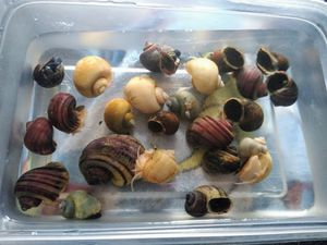 mystery snails for Sale in Decatur, MI
