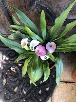Beautiful calla lily plant! for Sale in Gardena, CA