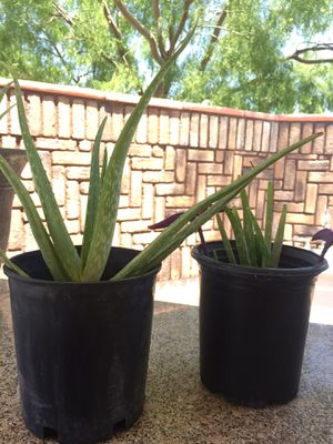 AloeVera Plant ~ Planta De Savila for Sale in North Las Vegas, NV