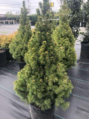 Dwarf Alberta Spruce Trees for Sale in Smyrna, TN
