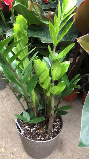 """Live ZZ Plant Fit 6"""" Pot for Sale in CA, US"""