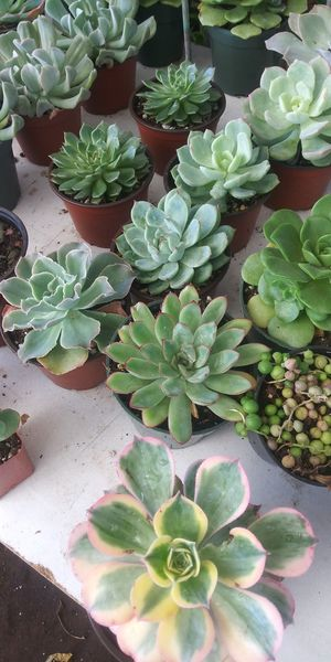Succulents for sale for Sale in San Marcos, CA
