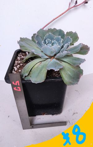 Large Succulent Plant in 3 Gallon Container for Sale in Orange, CA