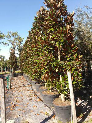 Privacy landscape magnolia for Sale in Stuart, FL