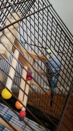 Parakeet love birds with cage for Sale in Allen Park, MI