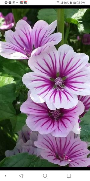 Perennial hollyhock plants$1-$2 each pot for Sale in St. Louis, MO