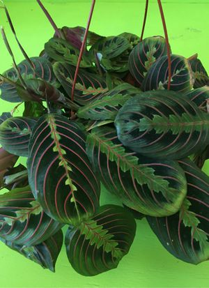 Indoor Plant Maranta Red ( Hanging ) for Sale in Chula Vista, CA