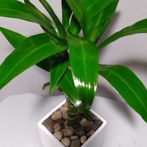 Real Dracaena Elegance Lisa Plant Includes ceramic Pot Perfect For Home Or Office for Sale in Anaheim, CA
