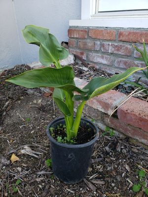 Small Calla Lily Plant for Sale in Monrovia, CA