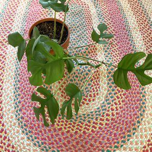 """Rhaphidophora Tetrasperma Mini Monstera In 6"""" Pot for Sale in Bakersfield, CA"""