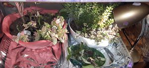 Assorted cacti and succulents. Will sell cutting or whole plants a dollar fifty per inch. $20 minimum for shipping. bulk discounts for Sale in Milton, WA
