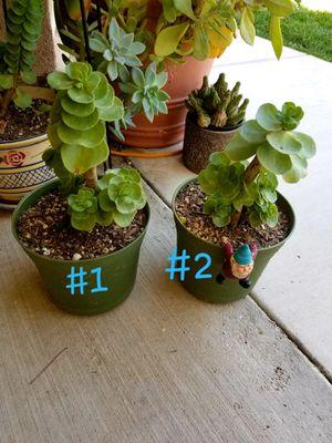 Portulaca molokiniensis for Sale in Orange, CA