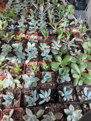 """Succulent plants in a 2""""pot,$1 each pot, good for party favors or Baby shower,Wedding,Birthdays souvenirs for Sale in Anaheim, CA"""