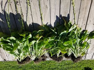 Freshly Dugged HOSTAS all this for$10 for Sale in Aurora, IL