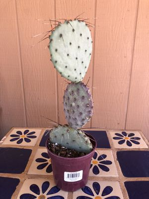 Purple Prickly Pear Cactus Plant Rooted Opuntia Santa Rita for Sale in Chandler, AZ