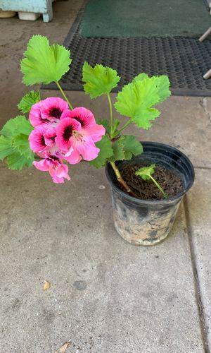 Gerarnio Plant for Sale in Fresno, CA