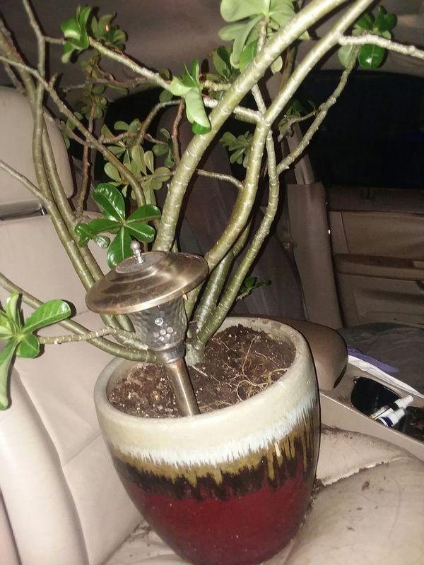 Late blooming dirty red in nice vase