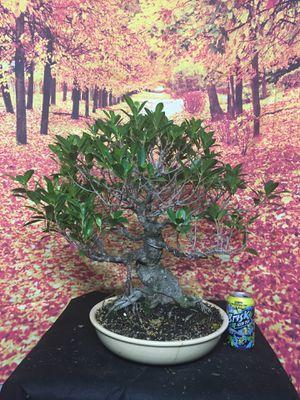 Bonsai: over 35 yrs old ficus retusa for Sale in Everett, MA