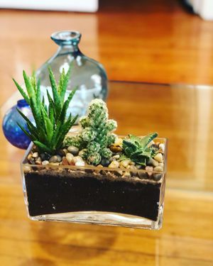 Succulents plants for Sale in Lawrence, MA