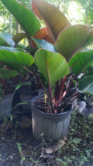 OPEN TODAY! MALANGA CONGO PLANTS FOR SALE! BEATIFUL! for Sale in Miami, FL