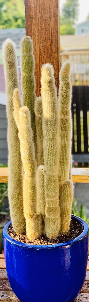 Live indoor very large cactus house plant in a ceramic planter flower pot—firm price for Sale in Seattle, WA