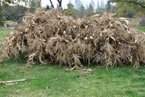 Corn Stalks For Halloween Decorations, Cattle Feed, Or Livestock! for Sale in Tacoma, WA