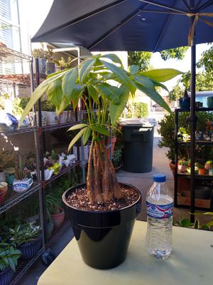 MONEY TREE for Sale in Paramount, CA