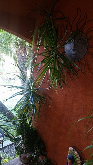Dragon Tree very big 8fit long for Sale in Lynwood, CA