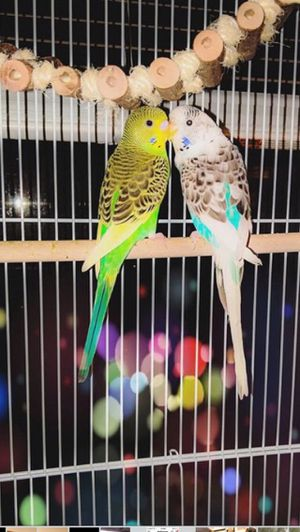 Free parakeets and all excesories for Sale in Pittsburgh, PA