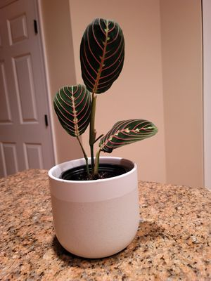 Red Maranta - Prayer Plant for Sale in Fort Washington, MD