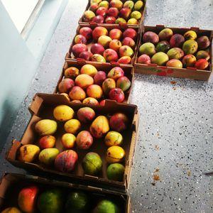 Mangos for Sale in Hialeah, FL